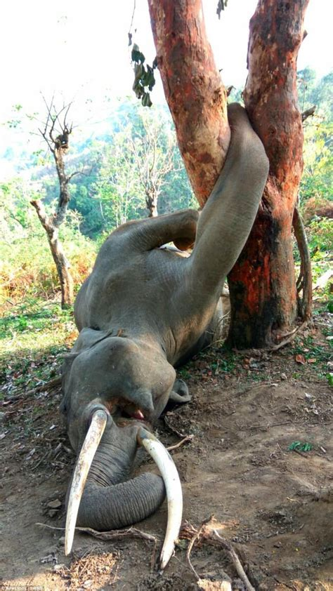 How This Elephant Got Killed By A Tree
