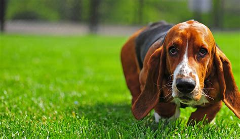 How to Train Your Basset Hound Dog to Hunt Birds