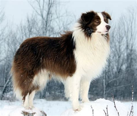 Border Collie Breed Guide - Learn about the Border Collie